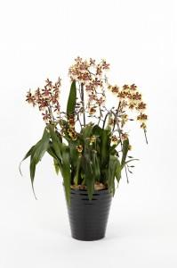 (株)草土出版「植物デザイン」賞コルマナラ ワイルドC'イエロ-バタフライ'メルシェン